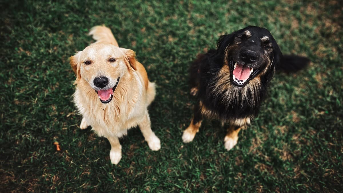 golden retrievers types of mixed breeds