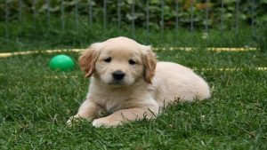 A playful golden retriever puppy