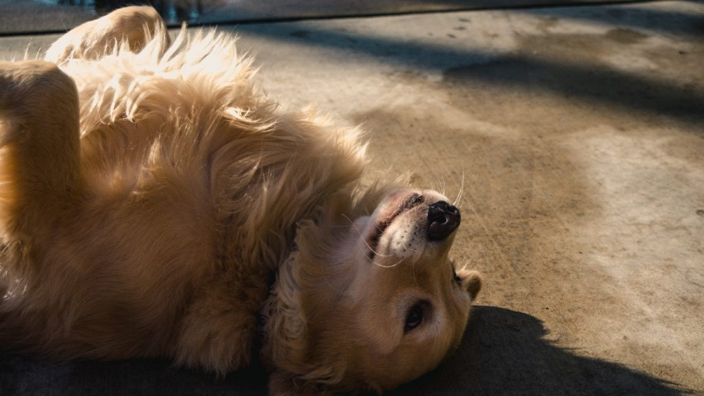Exercising your Golden Retriever