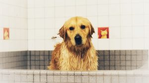 can i shave my golden retriever