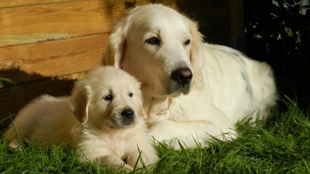 golden retriever training courses