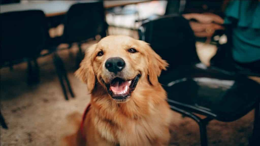 Do Golden Retrievers Shed Yes A Lot Here S Why Amp How