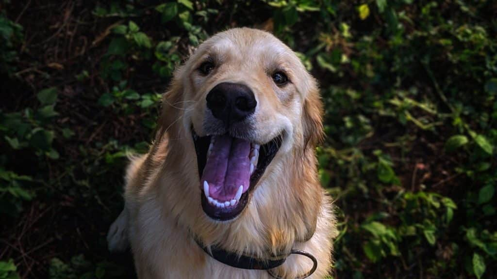clean golden retrievers teeth