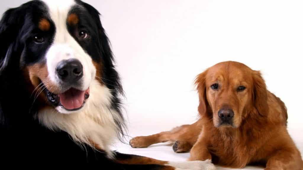 golden mountain dog mix