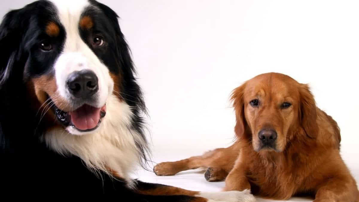 Golden Mountain Dog Everything You Need To Know
