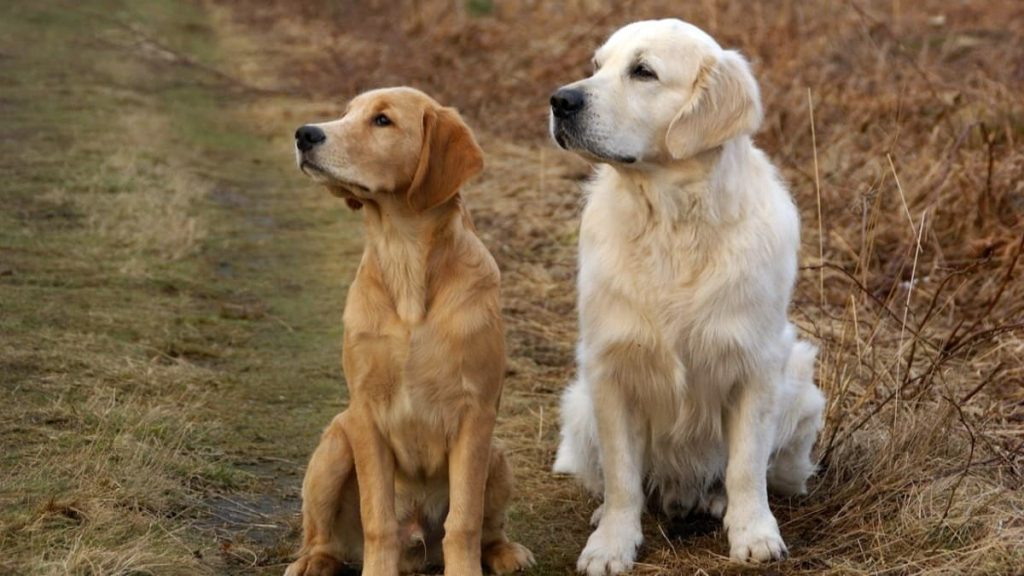 golden retriever colors
