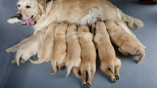 average litter size for golden retrievers