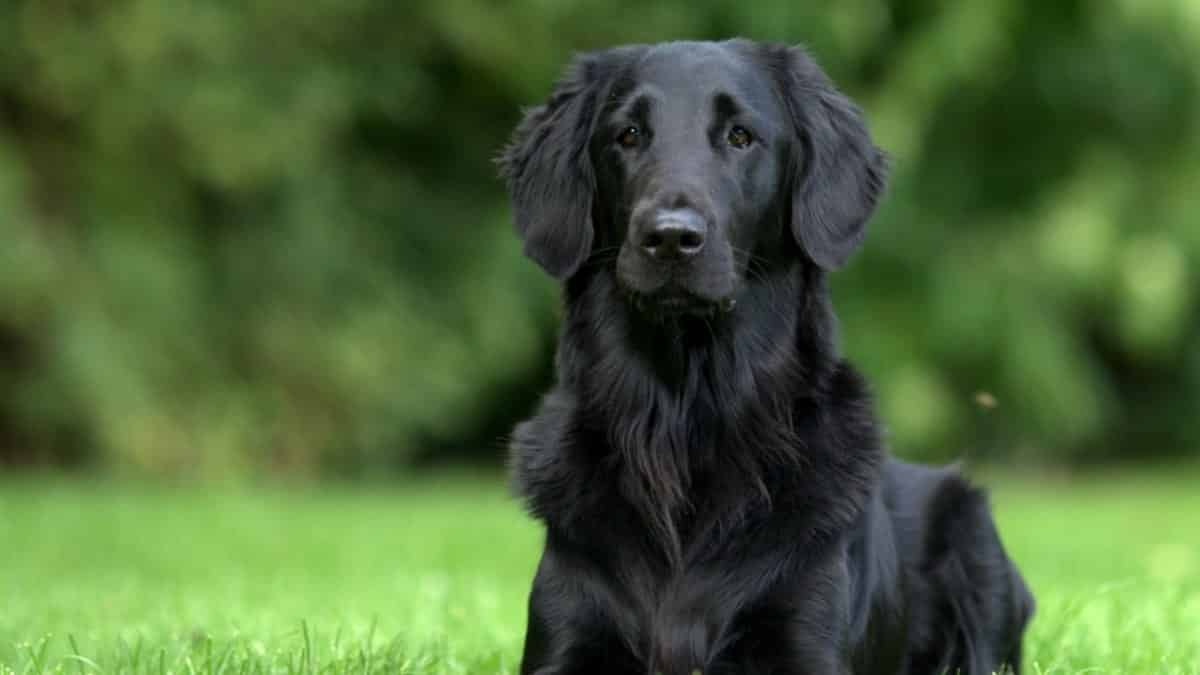 black golden retriever color