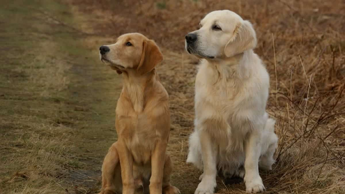 differences between american and english golden retrievers