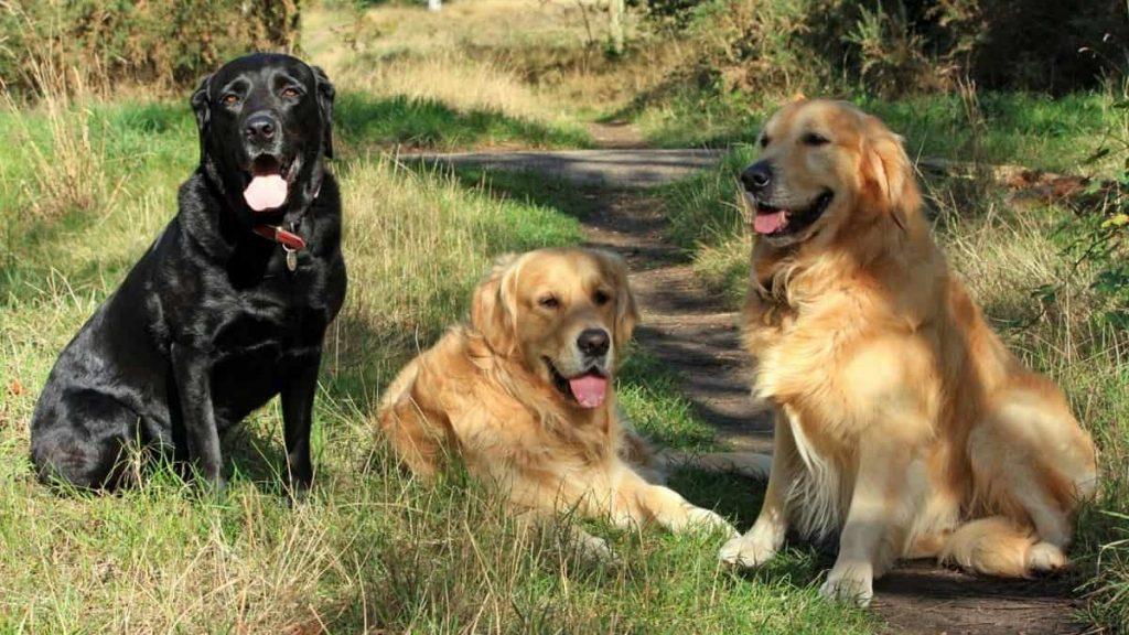 golden retrievers vs labradors