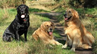 golden retrievers vs labradors