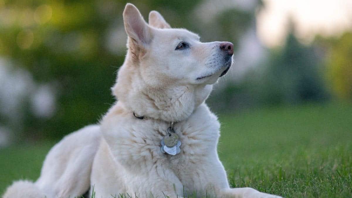 husky golden retriever mixed breed