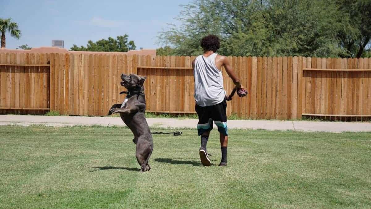pitbull golden retriever mixed breed