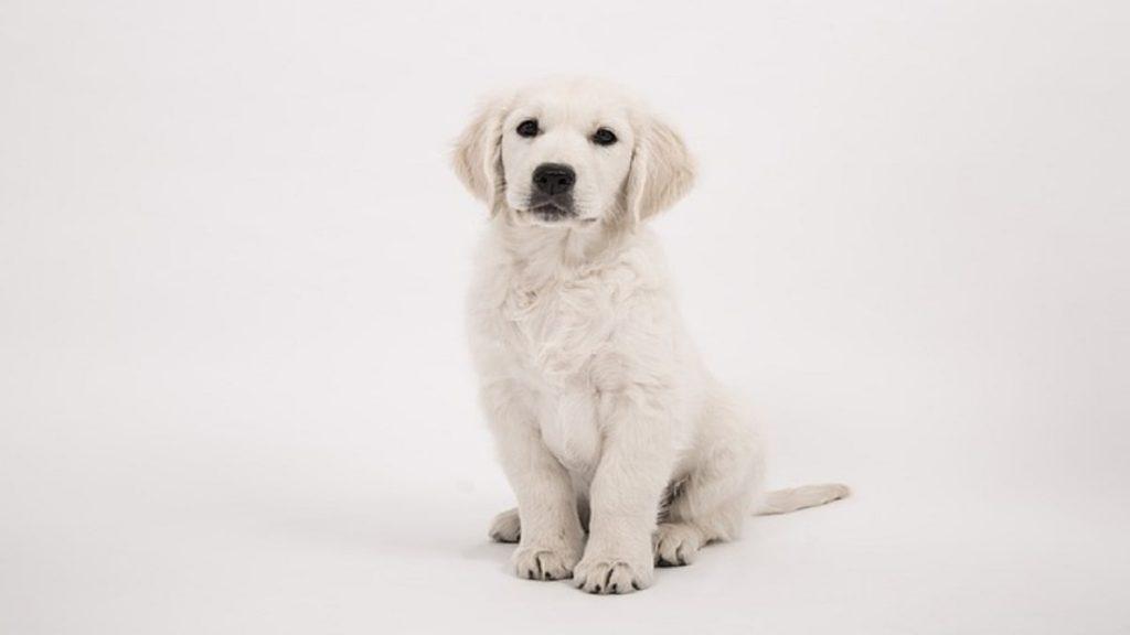 A very cute golden retriever puppy