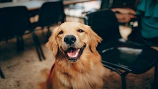A cute golden retriever Dog
