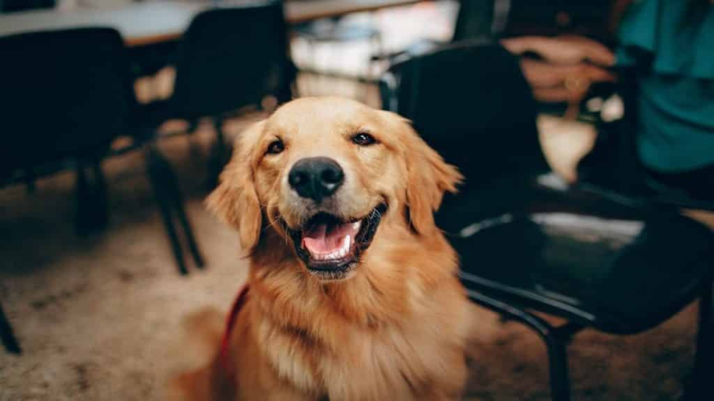 A golden retriever dog with its tongue out