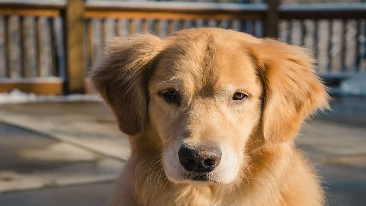 A golden retriever dog with a blurry background