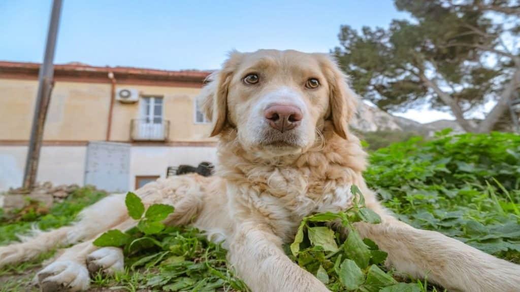 A golden retriever sitting on the grass