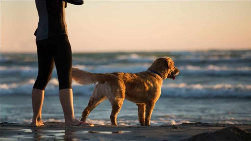 Golden retriever by the shore