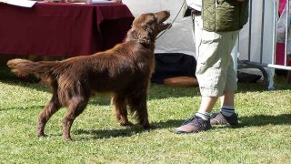 dark brown retriever sitting on grass land