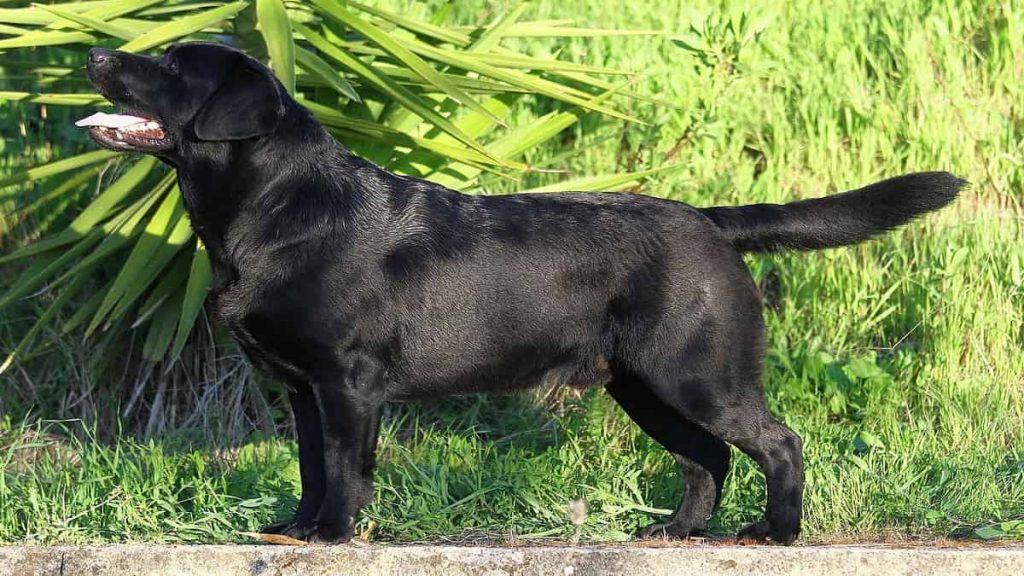 Black Labrador retriever standing in the grassBlack Labrador retriever standing in the grass