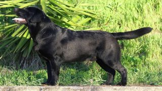 Black Labrador retriever standing in the grassBlack Labrador retriever standing in the grass