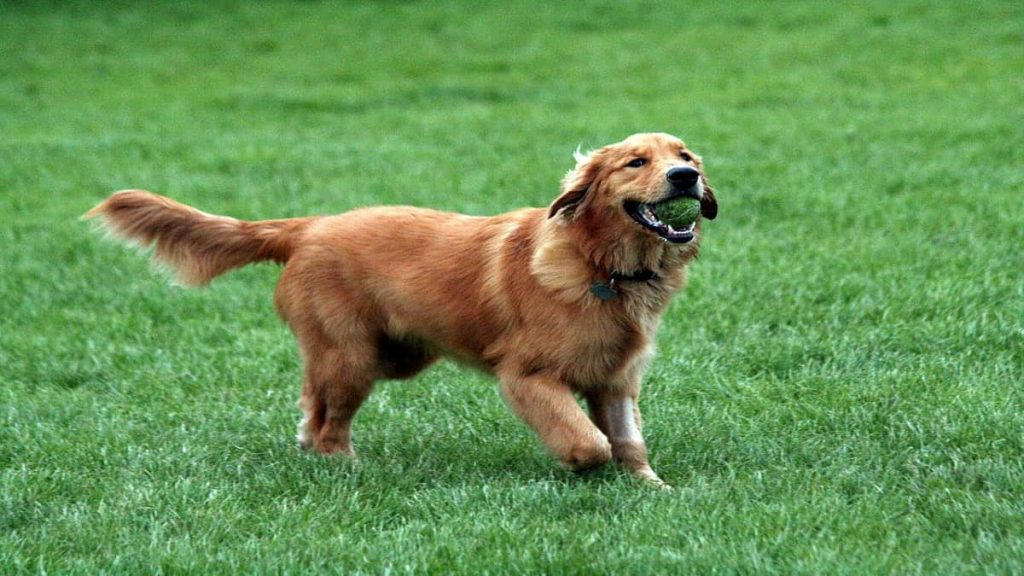A golden retriever playing outdoors