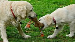 Golden retrievers playing together