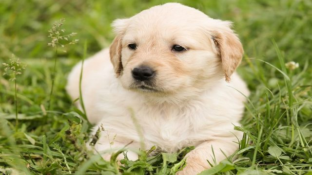 A Cute Golden Retriever Puppy