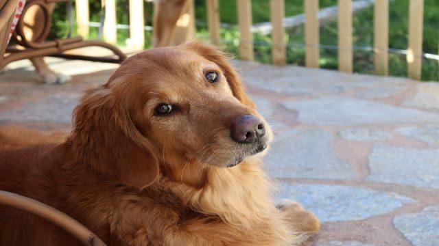 A Golden Retriever Dog