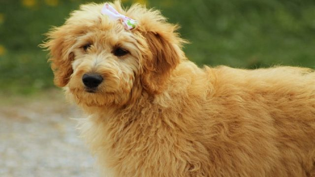 A cute Goldendoodle dog
