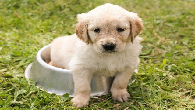 A Golden Retriever Pup