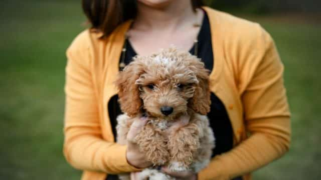 Cute Goldendoodle in the owner's arms