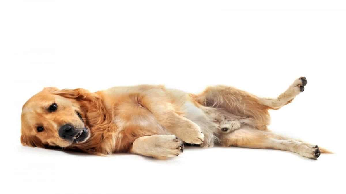 Best Ear Cleaners For Golden Retrievers Top 5 Reviewed