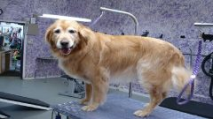 Best grooming table for golden retrievers