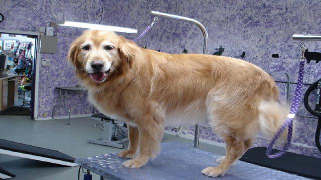 Best grooming table for golden retrievers