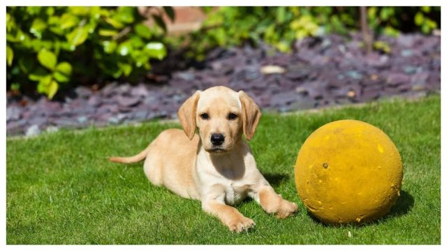 Golden Retriever next to a ball