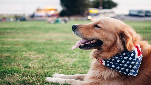 American Golden Retriever