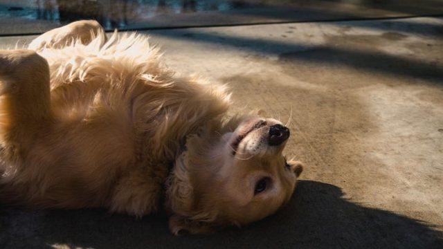 A Golden Retriever lying in the sun