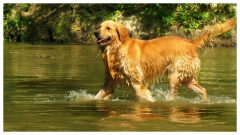 Golden Retriever walking in water