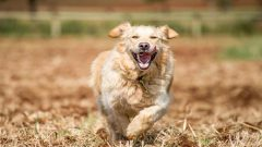 Golden retriever running at full speed in fields