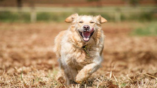 Golden retriever running at full speed in fields