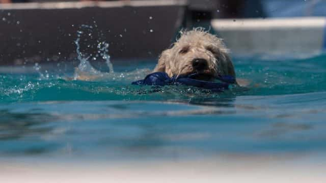Trained Golden Doodle Swimming around