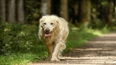 A golden retriever enjoying a walk in the forest