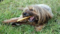 Dog chewing a bully stick