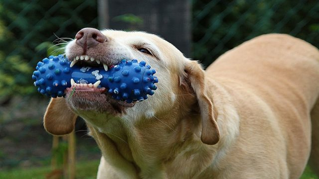 A dog chewing on a bone-shaped toy