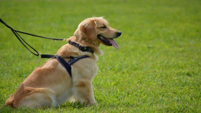 Control leash on a golden retriever