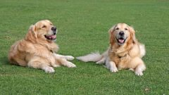 Golden Retrievers in the Park