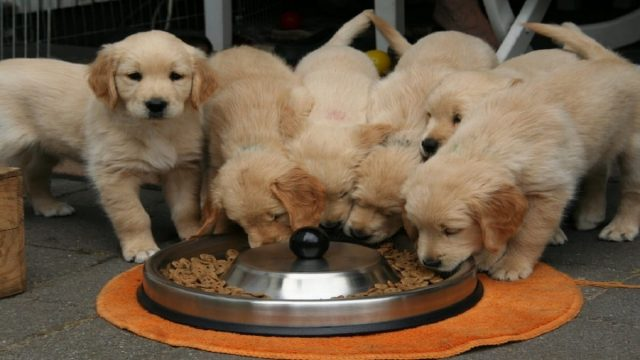 A group golden puppies eating from a dog bowl