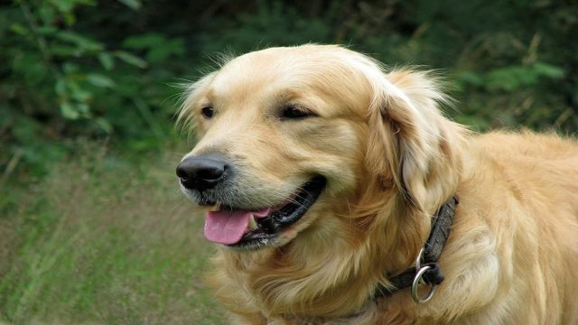 A Furry Golden Retriever